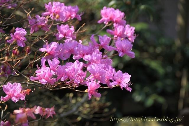 鎌倉の桜 明月院_f0374092_21383020.jpg