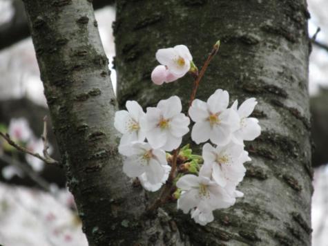 ―ー桜の花!満開の、お墓参り!でした。ーー_d0060693_16541722.jpg