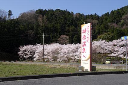 のんびりしておれない今年の桜_b0145296_19000964.jpg