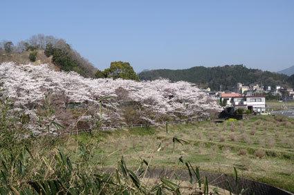 のんびりしておれない今年の桜_b0145296_19001338.jpg