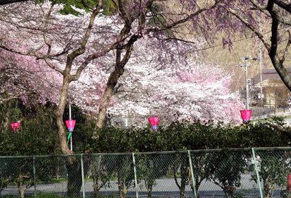 のんびりしておれない今年の桜_b0145296_19001715.jpg