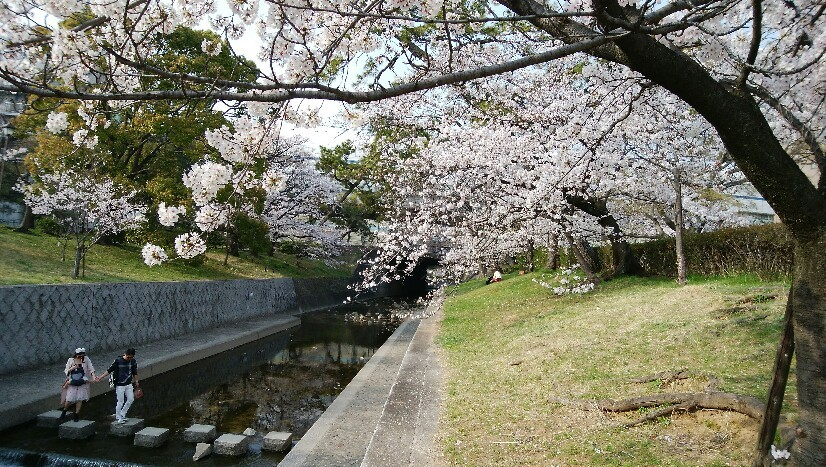 夙川の桜は見頃です..._a0188798_16041753.jpg