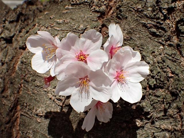 満開の桜_e0289203_15294221.jpg