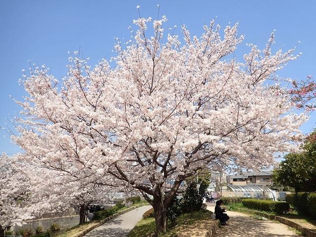 満開の桜_e0289203_15294228.jpg