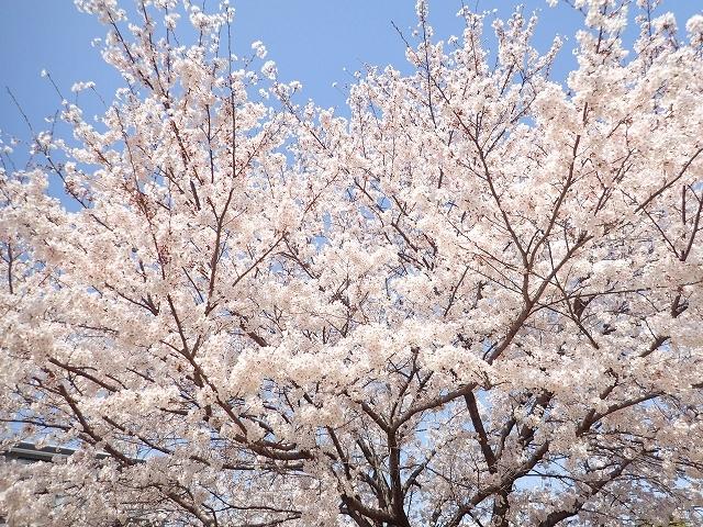 満開の桜_e0289203_15294229.jpg