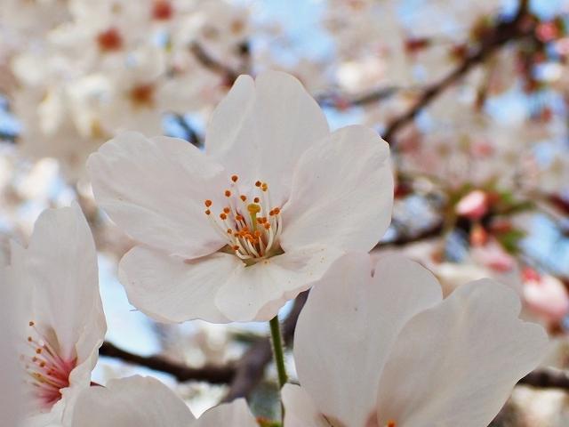 満開の桜_e0289203_15294310.jpg