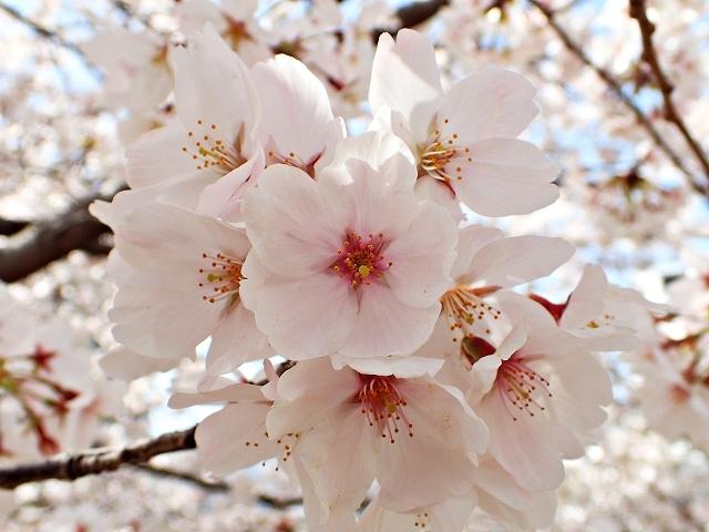 満開の桜_e0289203_15294341.jpg
