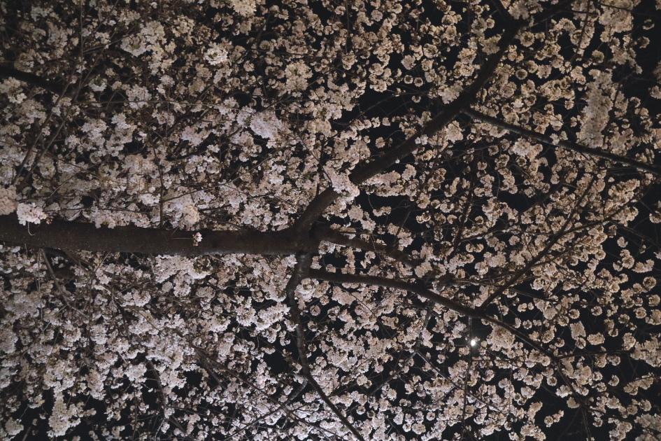 2018年 桜満開_b0190710_19190741.jpg