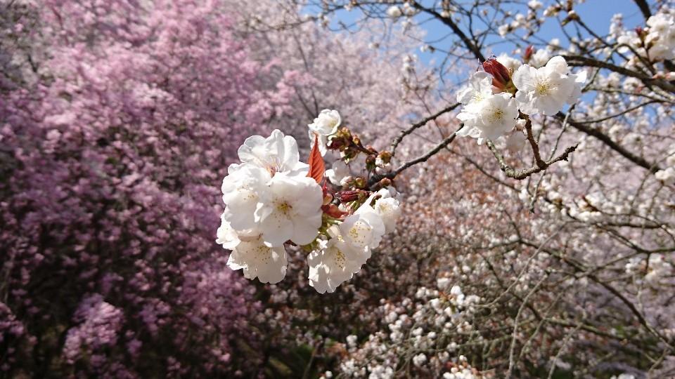 藤枝、瀬戸川の桜♪_b0093515_05432694.jpg