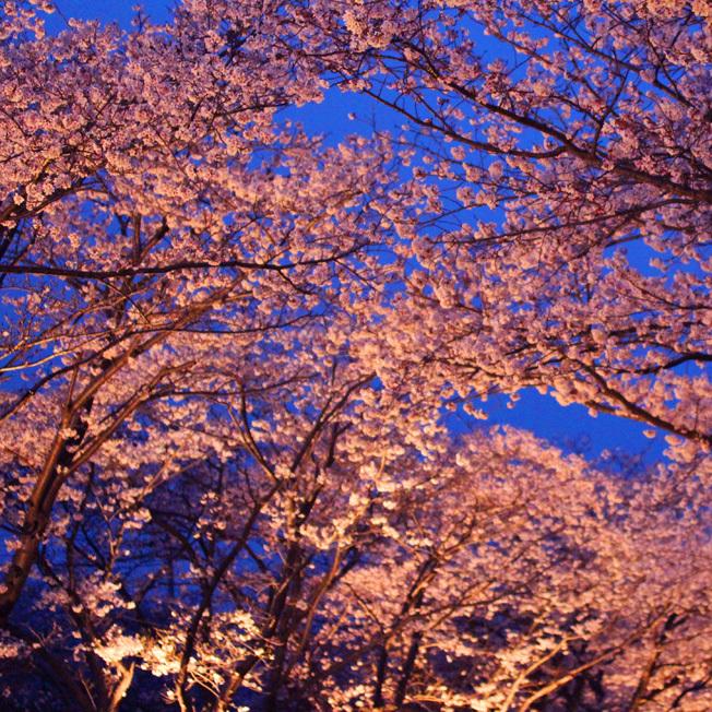 夜桜と七輪_a0329820_12004911.jpg