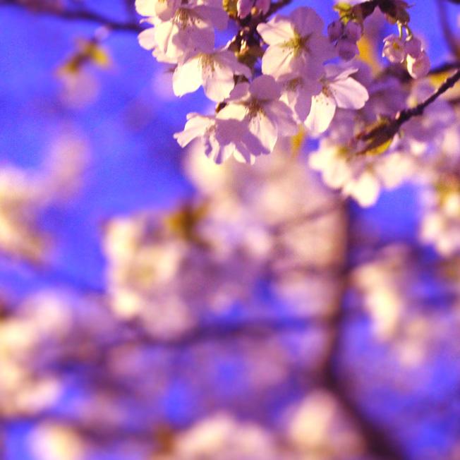 夜桜と七輪_a0329820_12005265.jpg
