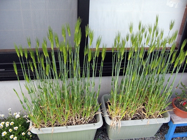 麦の収穫_f0129726_19145019.jpg