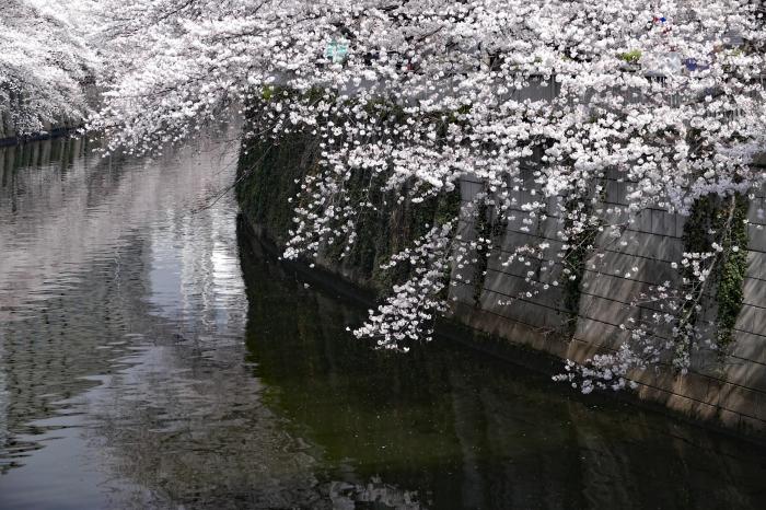 東京都目黒区 「大都会の桜 ー 人との係り」 ③_d0106628_12041726.jpg