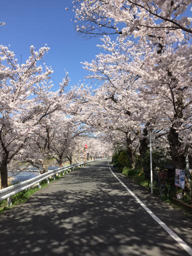 鴨川の桜_c0223630_12370982.jpg