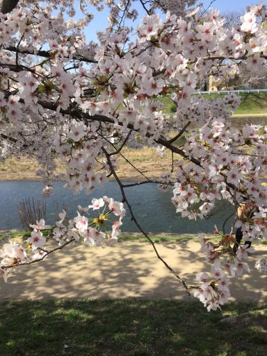 鴨川の桜_c0223630_12400883.jpg