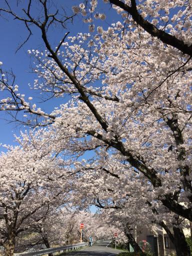 鴨川の桜_c0223630_12401168.jpg