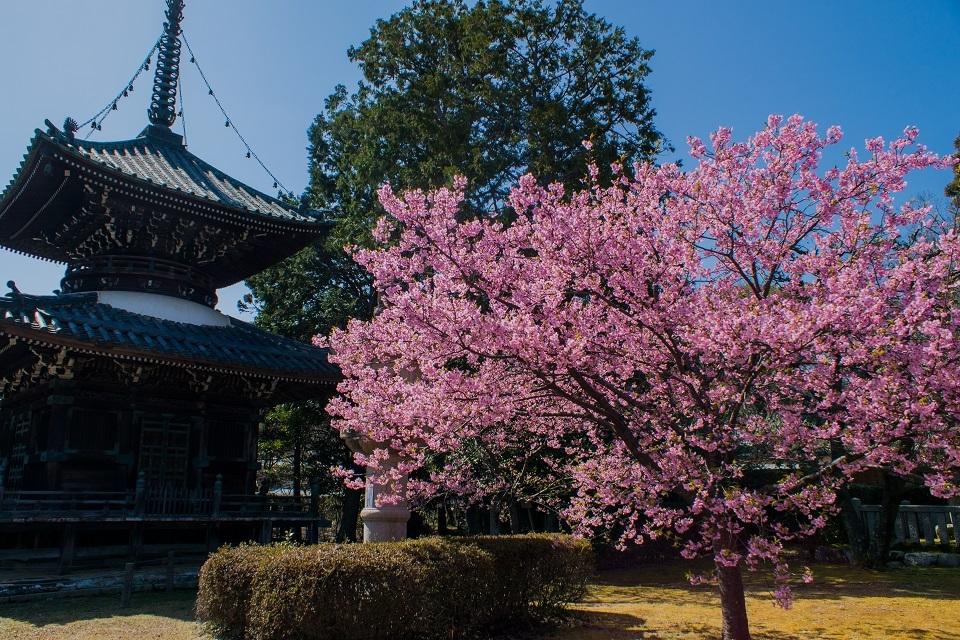 清凉寺の河津桜_e0363038_16490170.jpg
