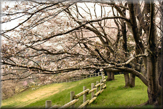 お花見散歩2018 @桜の丘_f0363141_08181269.jpg