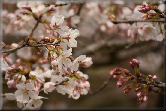 お花見散歩2018 @桜の丘_f0363141_08185576.jpg