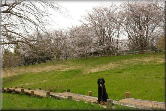 お花見散歩2018 @桜の丘_f0363141_08370261.jpg