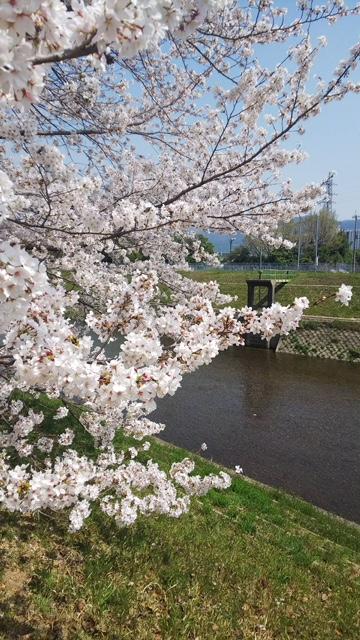 北野をどり・桜の下の着物姿・京都の桜も今週末が見頃_f0181251_18265127.jpg
