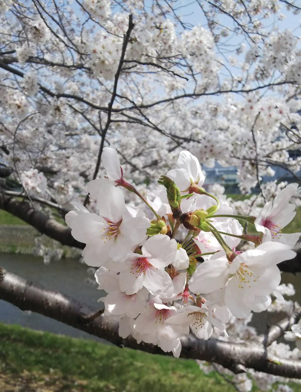 北野をどり・桜の下の着物姿・京都の桜も今週末が見頃_f0181251_1829776.jpg