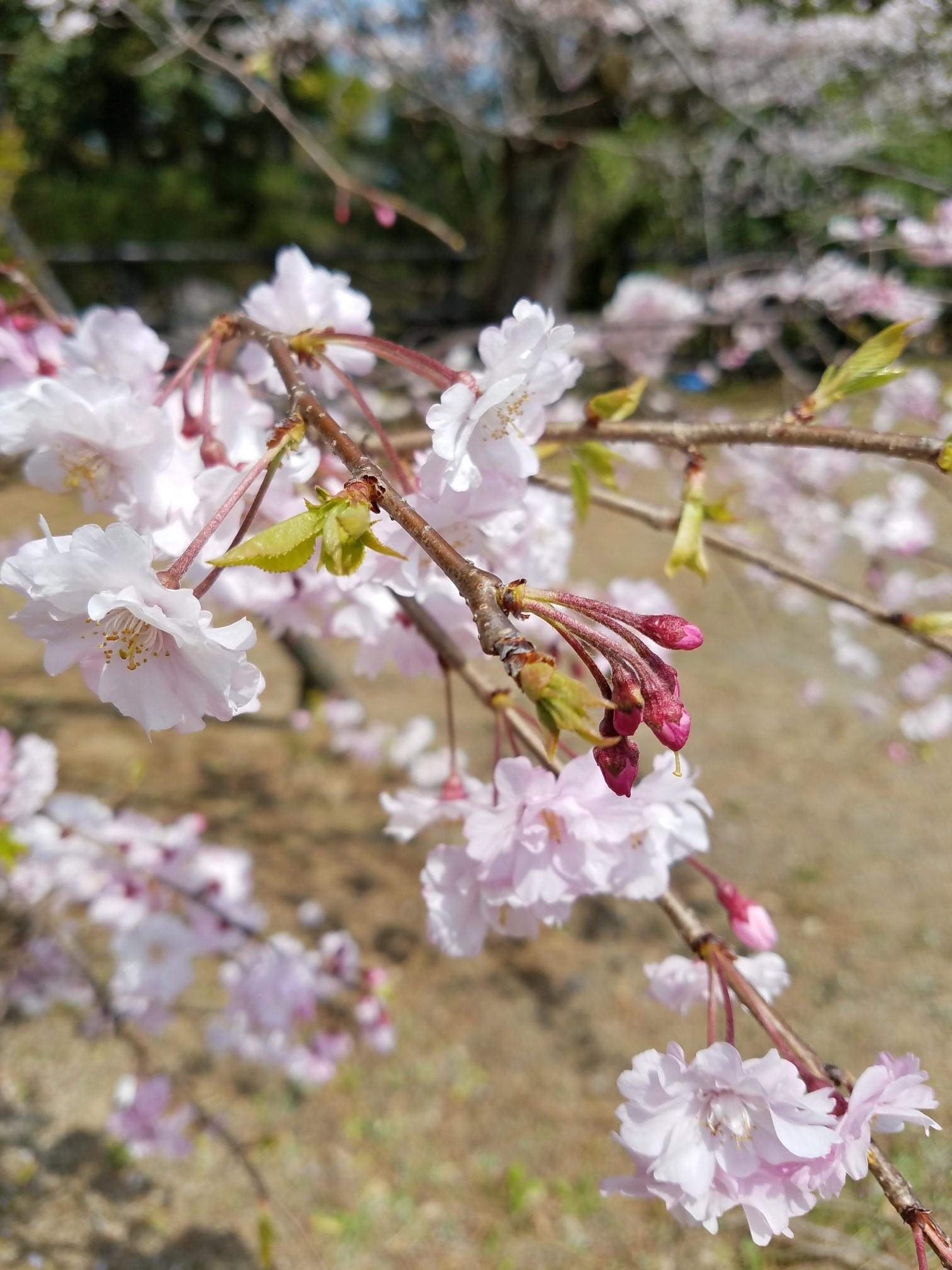 ❤ 満開の桜に会いに・・・_b0313261_15085650.jpg