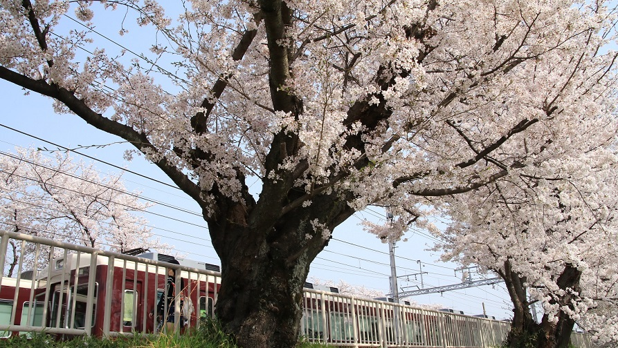 阪急上桂駅 ソメイヨシノ_d0202264_4552497.jpg