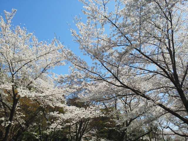 🌸 晴れわたる春の善き日 ( ^_^) (^_^ ) 終わりとはじまりの1日 🌸🌸🌸 久しぶりの八坂神社は満開です 🌸_f0061067_1411040.jpg