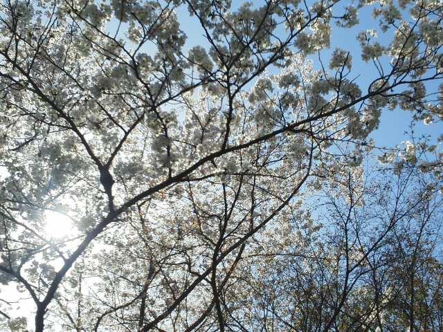 🌸 晴れわたる春の善き日 ( ^_^) (^_^ ) 終わりとはじまりの1日 🌸🌸🌸 久しぶりの八坂神社は満開です 🌸_f0061067_1411072.jpg