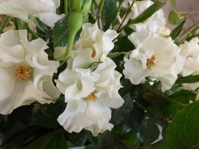 オークリーフ(市川バラ園さんの薔薇の花たち)_f0049672_19232258.jpg