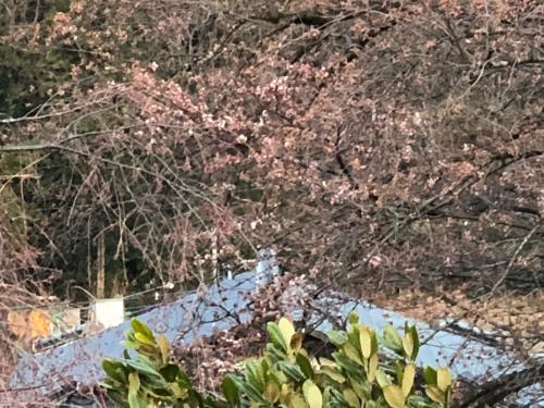 >志満屋の桜が開花。_d0338282_06152144.jpg