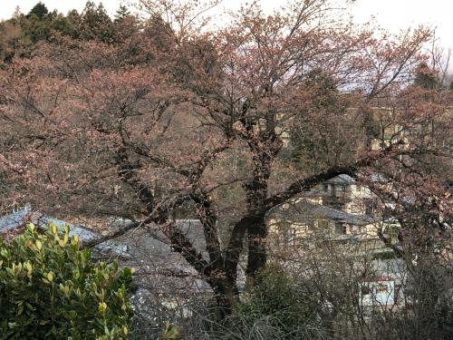 >志満屋の桜が開花。_d0338282_06153018.jpg