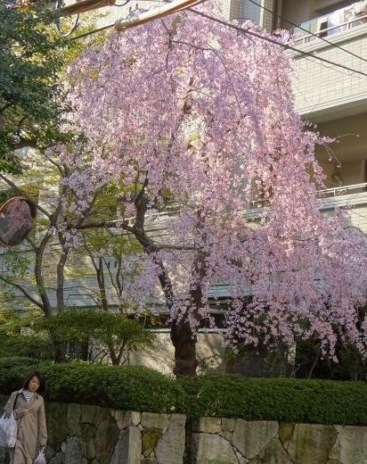 いろんな桜が。_f0166694_18120807.jpg