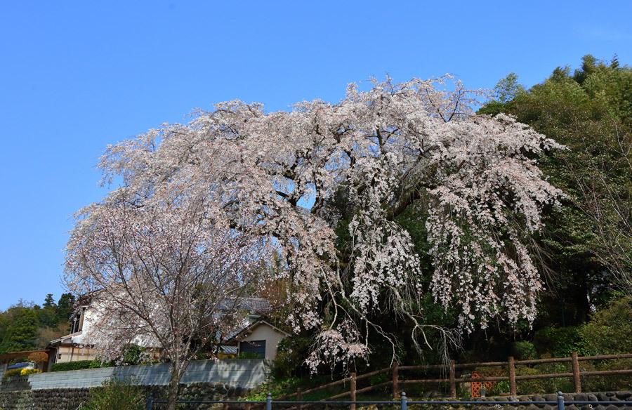 大原のしだれ桜(大分県日田市) : 九州ロマンチック街道