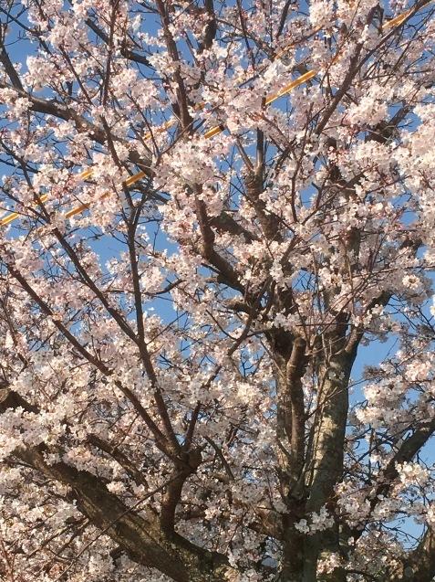 春になりました_a0310110_14180577.jpg