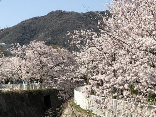 桜満開_d0184114_08230441.jpeg