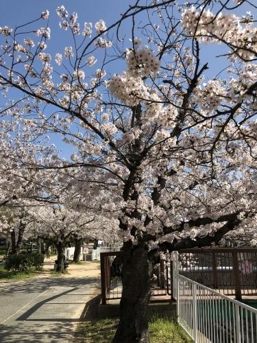桜満開_d0184114_08231807.jpeg