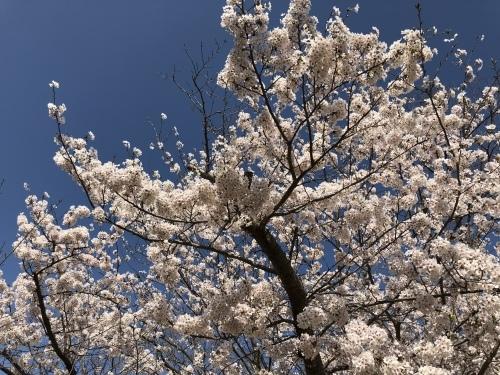 桜満開_d0184114_08234250.jpeg