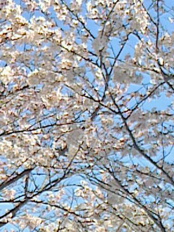 さくら通信2018 今年の上野の桜です_c0038424_08333012.jpg