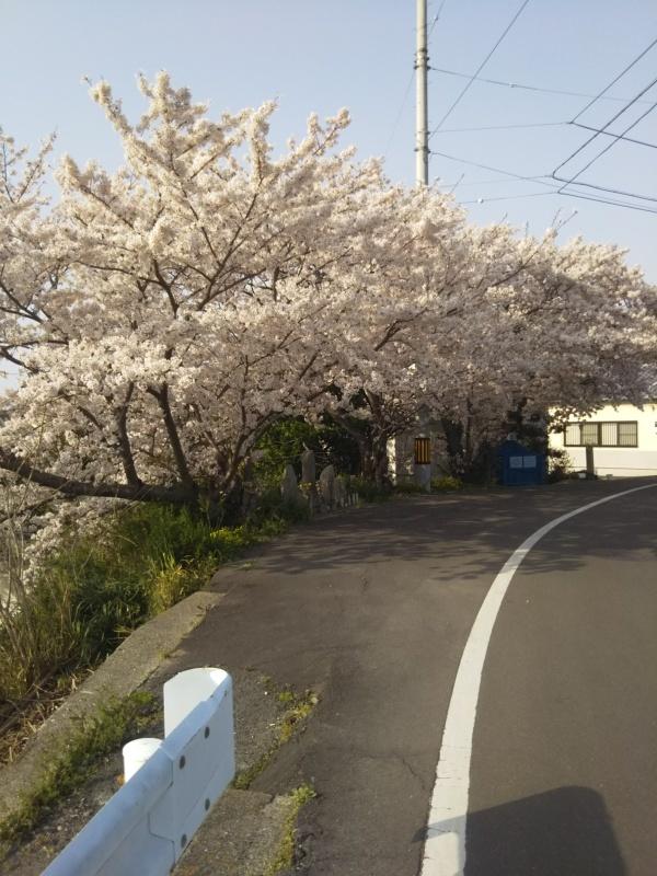 桜満開!_f0363025_16324210.jpg