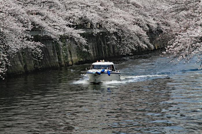 東京都目黒区 「大都会の桜 ー 人との係り」 ④_d0106628_09315665.jpg