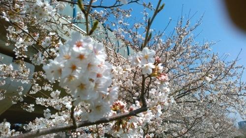 桜祭り..._b0137932_10141843.jpg