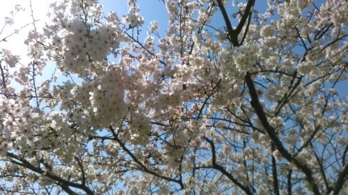 桜祭り..._b0137932_10164968.jpg