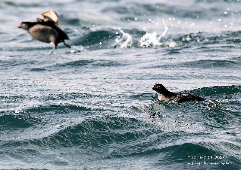 エトロフウミスズメは、冬鳥として北日本の洋上に渡来_b0346933_06274255.jpg