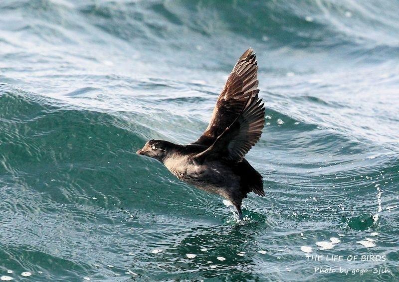 エトロフウミスズメは、冬鳥として北日本の洋上に渡来_b0346933_06275020.jpg