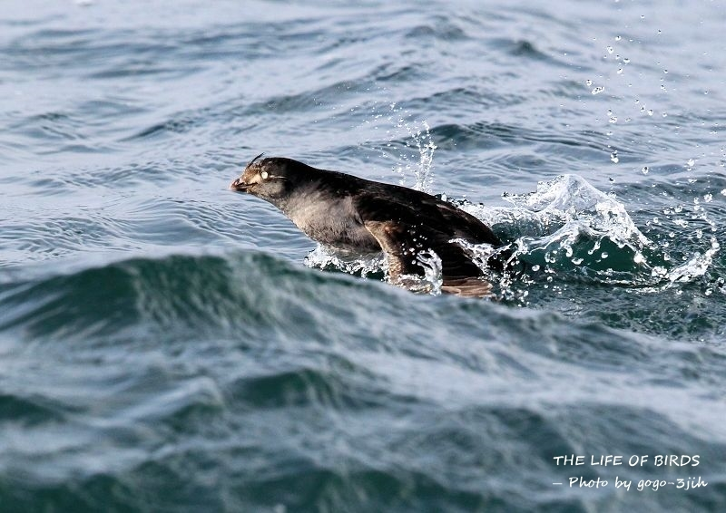 エトロフウミスズメは、冬鳥として北日本の洋上に渡来_b0346933_06275291.jpg