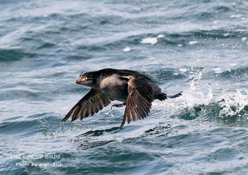 エトロフウミスズメは、冬鳥として北日本の洋上に渡来_b0346933_07473903.jpg