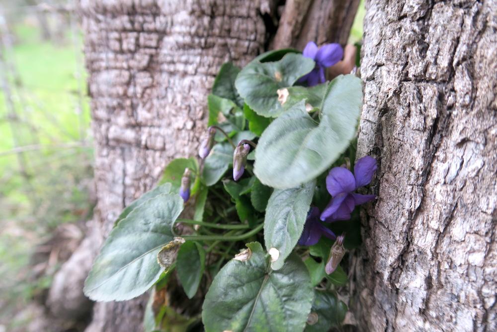 アーモンド・野スミレ花咲くミジャーナの春、イタリア_f0234936_6243094.jpg