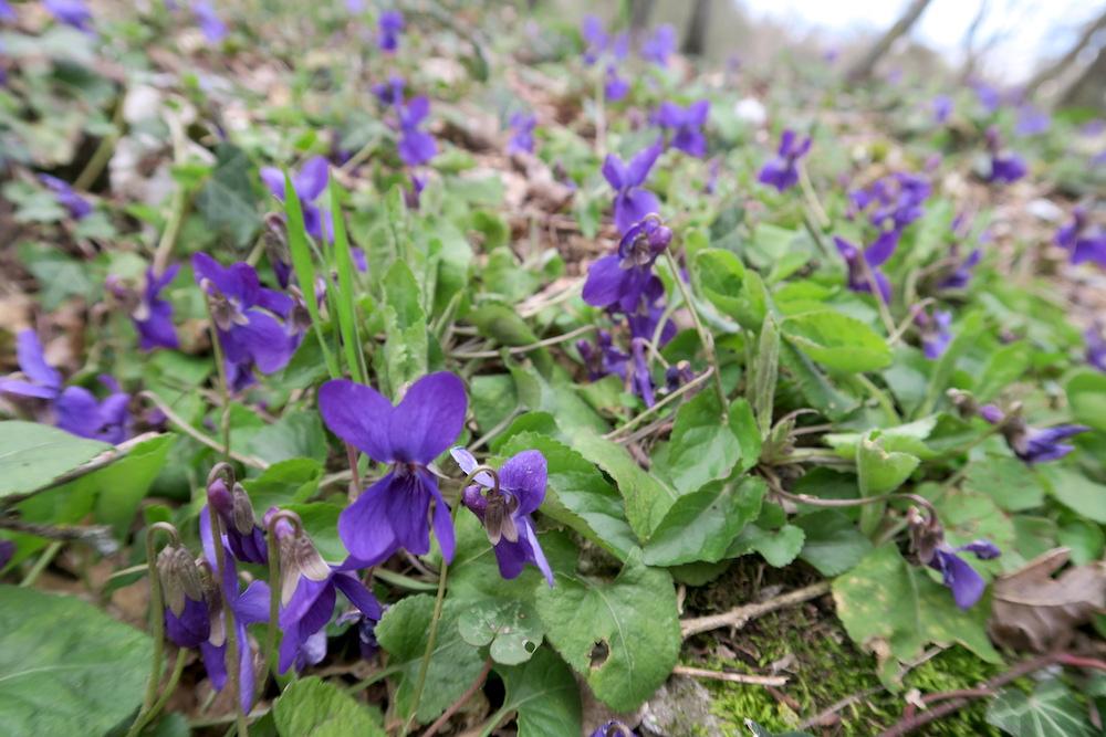 アーモンド・野スミレ花咲くミジャーナの春、イタリア_f0234936_6311073.jpg